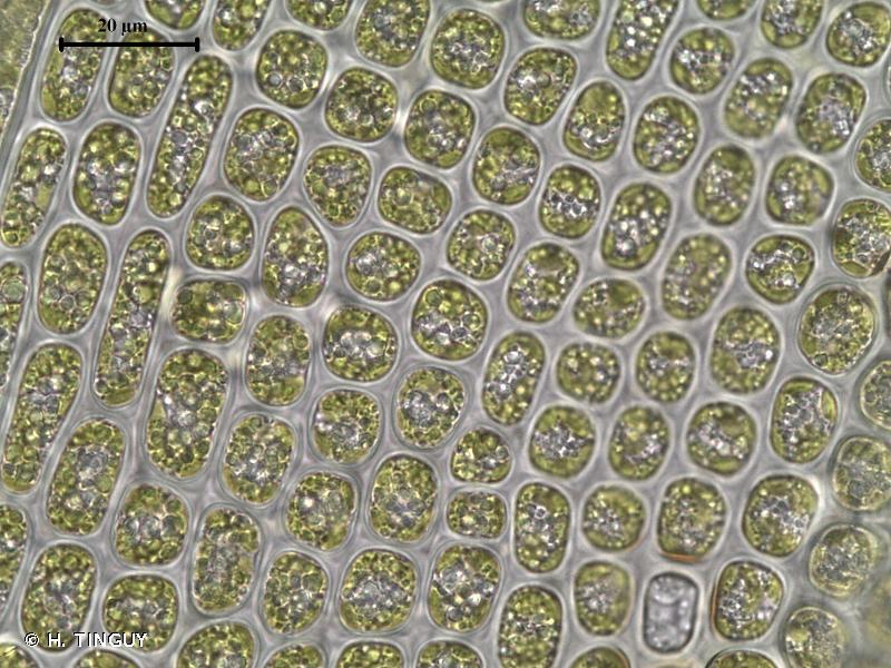 Dichodontium flavescens