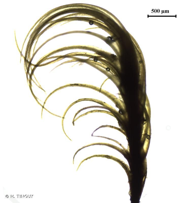 Ditrichum heteromallum