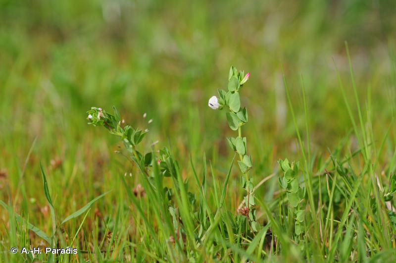Lotus conimbricensis