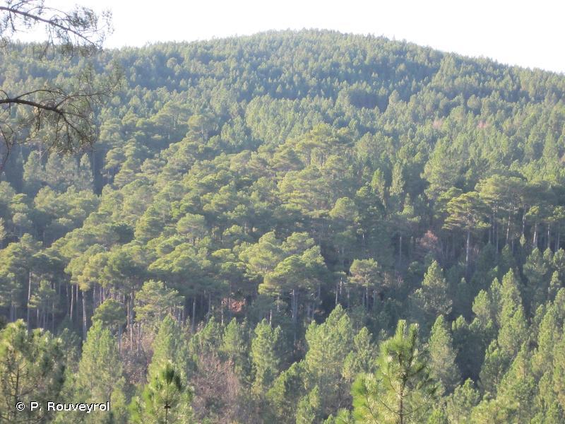 Forêt de pins de Salzmann de Bessèges