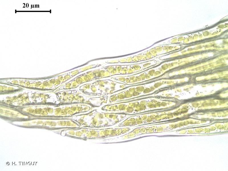 Plagiothecium latebricola
