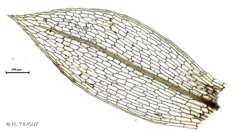 Entosthodon obtusus