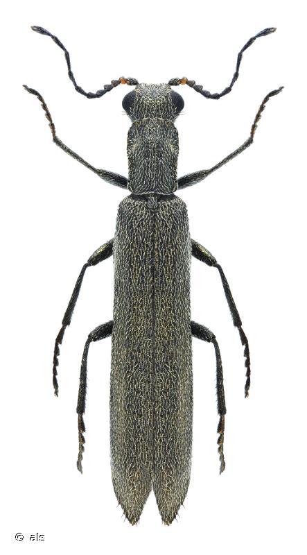Dolichosoma lineare