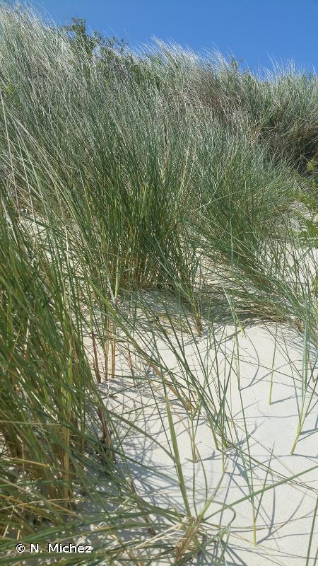 2120 - Dunes mobiles du cordon littoral à <em>Ammophila arenaria</em> (dunes blanches) - Cahiers d'habitats