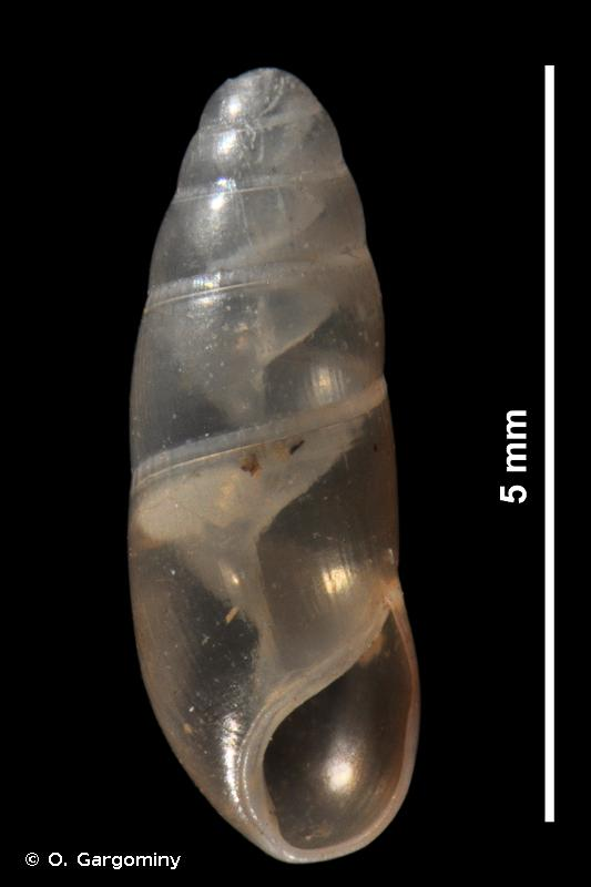 Hypnophila boissii