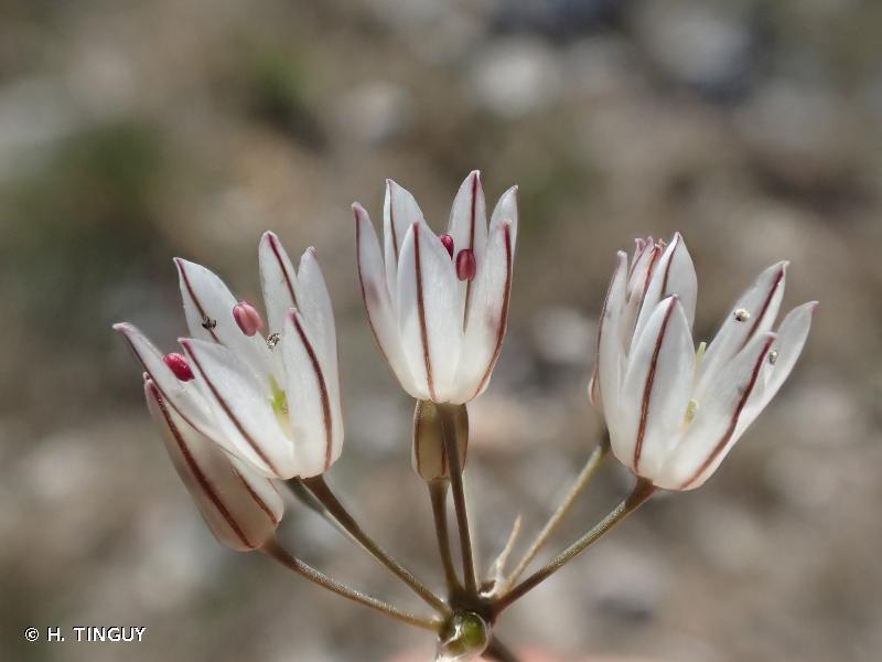 Allium moschatum