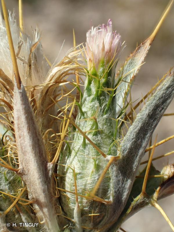 Picnomon acarna