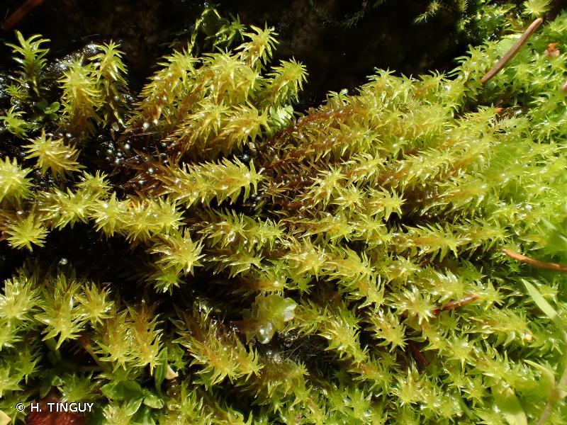 Diobelonella palustris