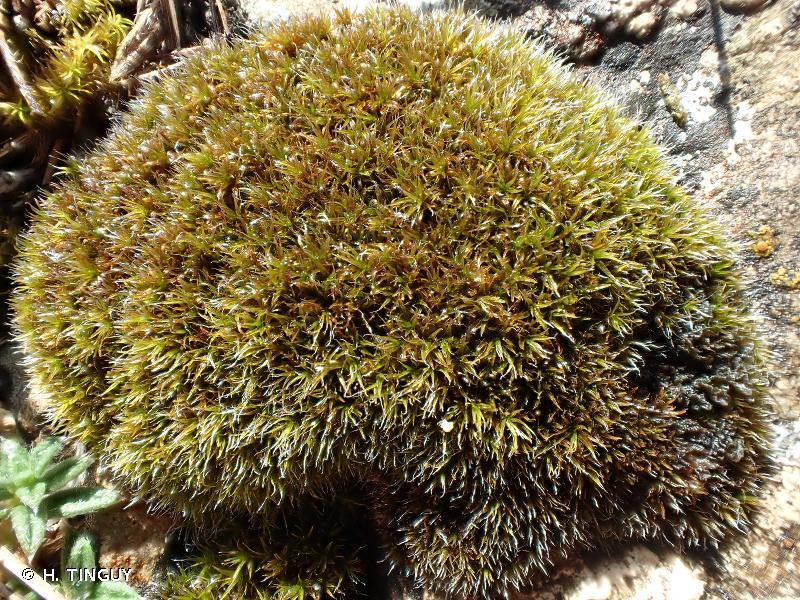 Grimmia dissimulata
