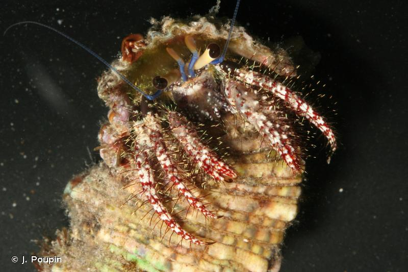 Dardanus lagopodes