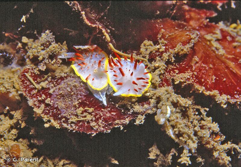 Diaphorodoris papillata