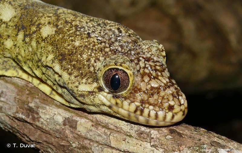 Rhacodactylus trachyrhynchus