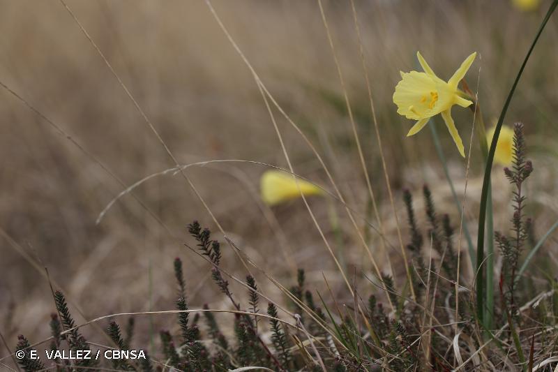 Narcissus gigas