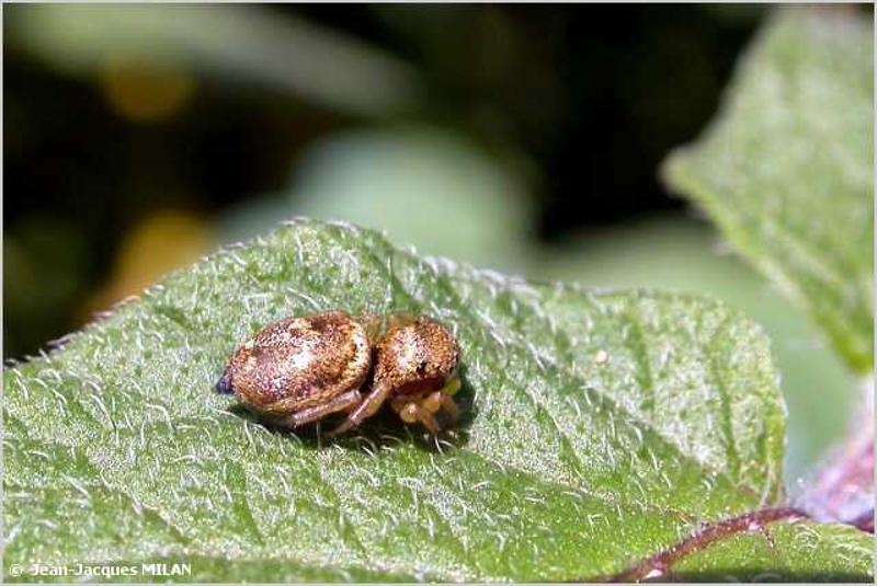 Heliophanus tribulosus