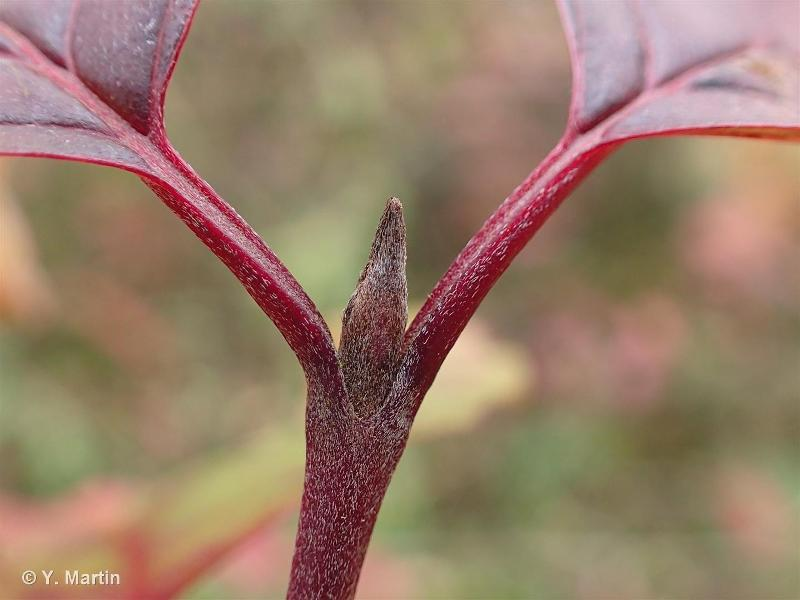 Cornus sanguinea
