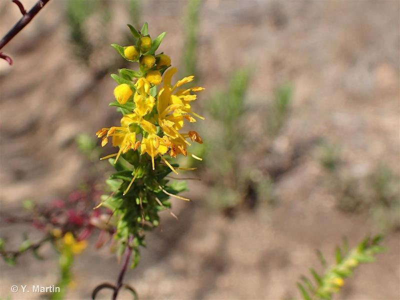 Odontites luteus subsp. luteus