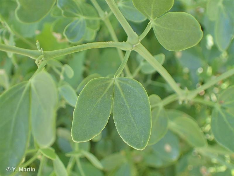 Zygophyllum fabago