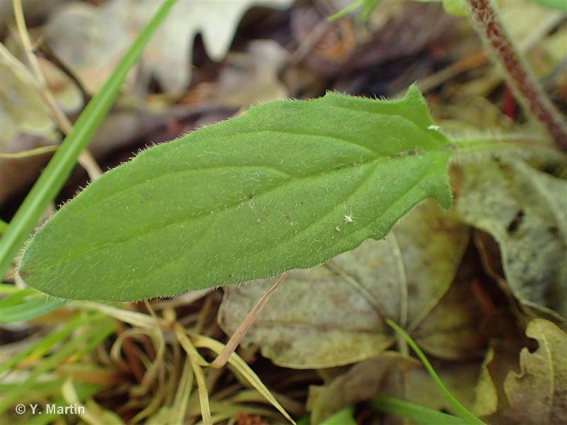 Prunella laciniata