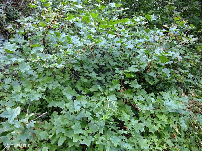 Ribes petraeum