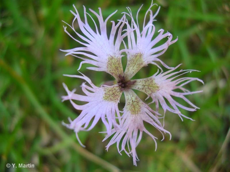 Dianthus superbus subsp. superbus