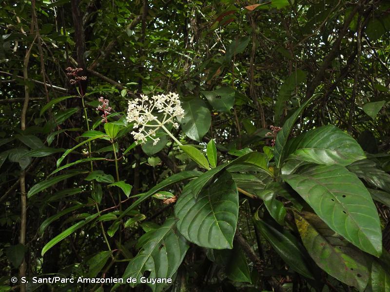 Psychotria guianensis