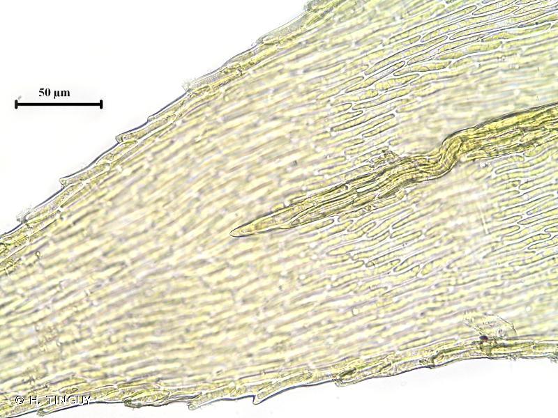 Brachytheciastrum velutinum