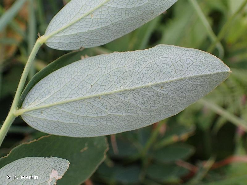 Lathyrus ochraceus