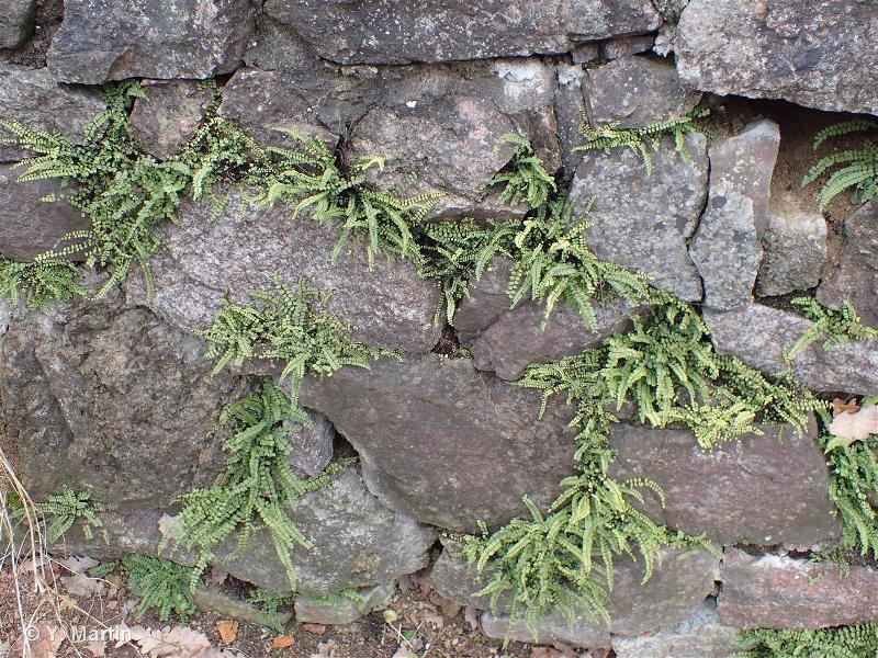 Asplenium trichomanes subsp. quadrivalens