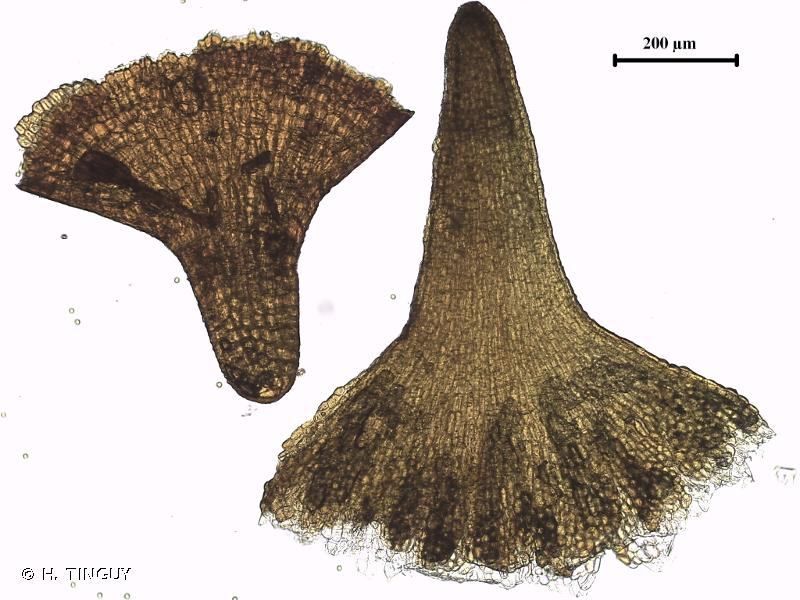 Grimmia crinitoleucophaea