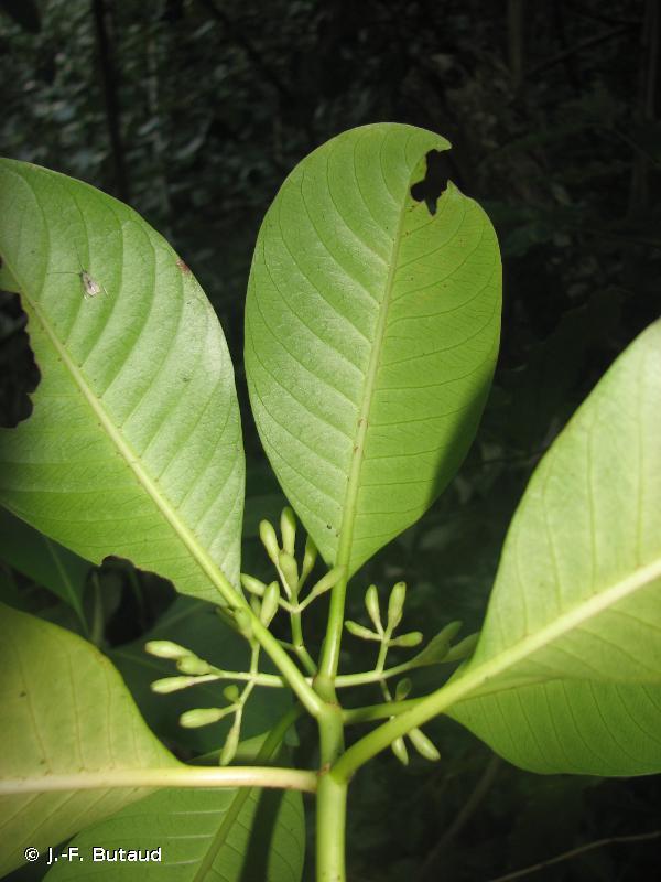 Psychotria mumfordiana