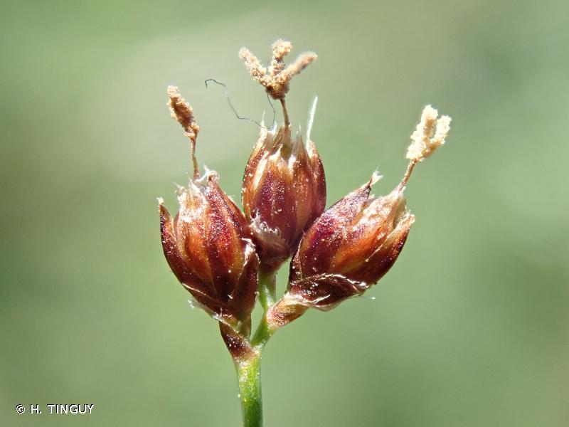Luzula desvauxii