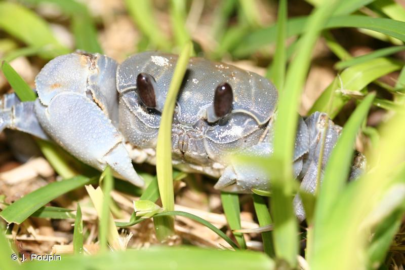 Ocypode cordimanus