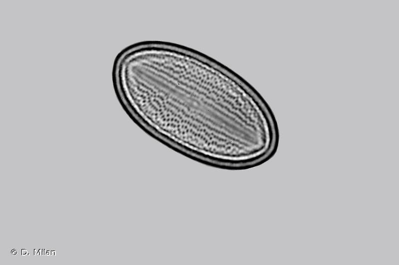 Cocconeis placentula var. lineata
