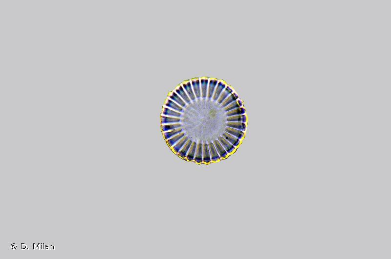 Cyclotella meneghiniana