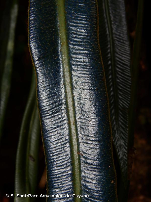 Elaphoglossum herminieri