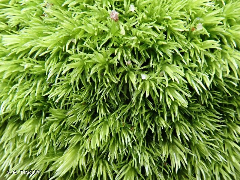 Leucobryum juniperoideum