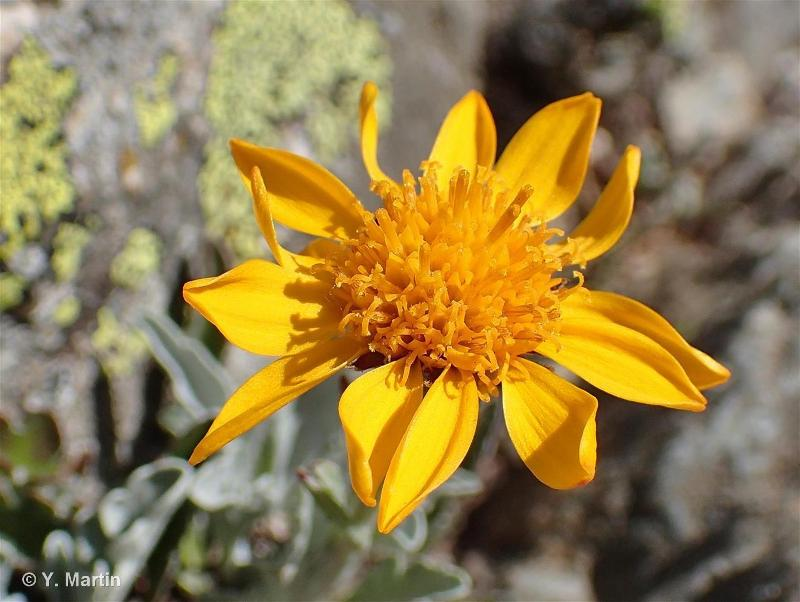 Jacobaea uniflora