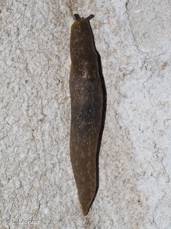 Limacus flavus