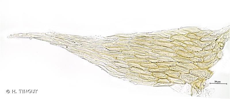 Hypnum callichroum
