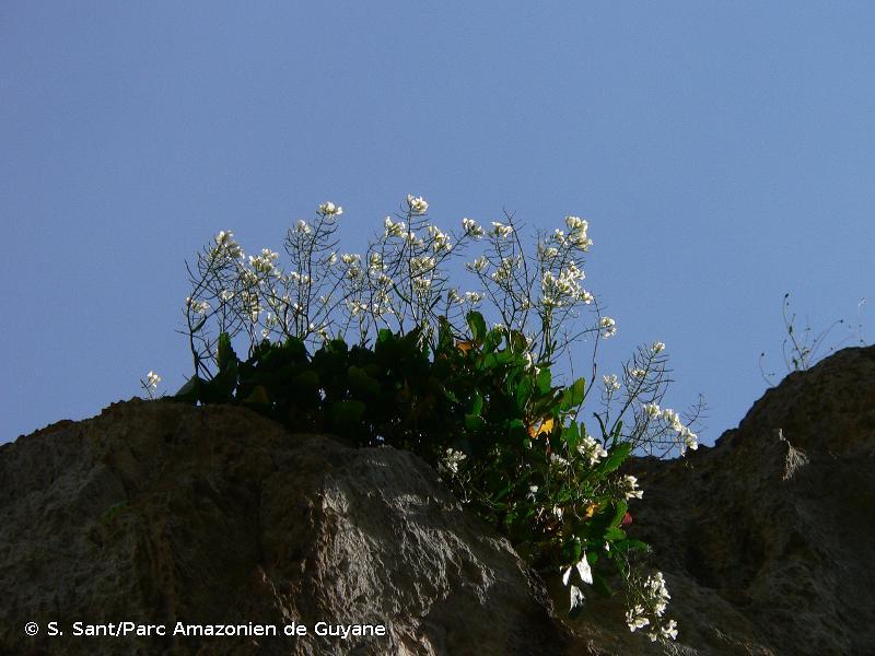 Brassica insularis