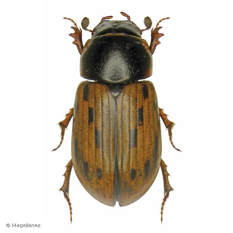Chilothorax conspurcatus