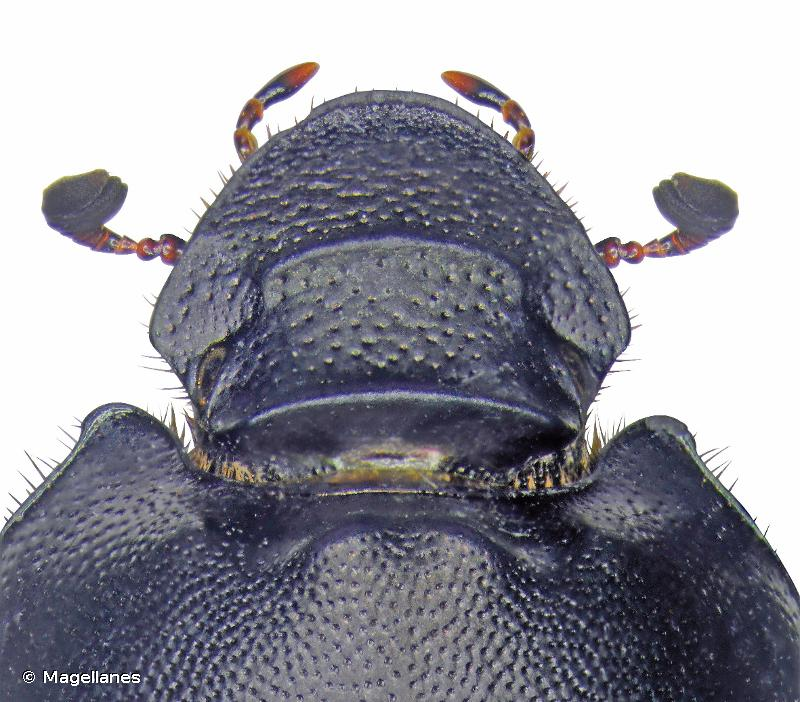 Onthophagus verticicornis