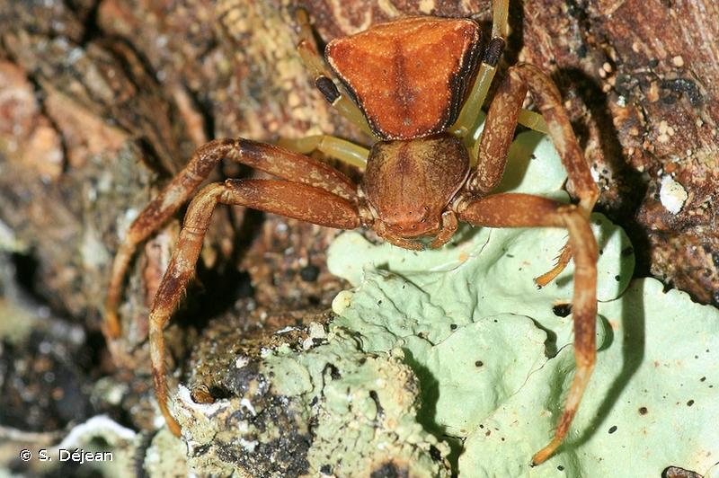 Pistius truncatus