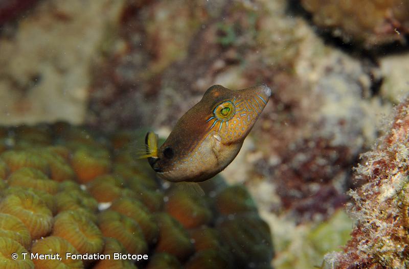 Canthigaster rostrata