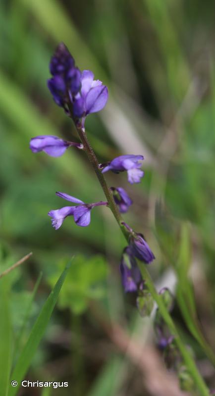Polygala vulgaris subsp. vulgaris