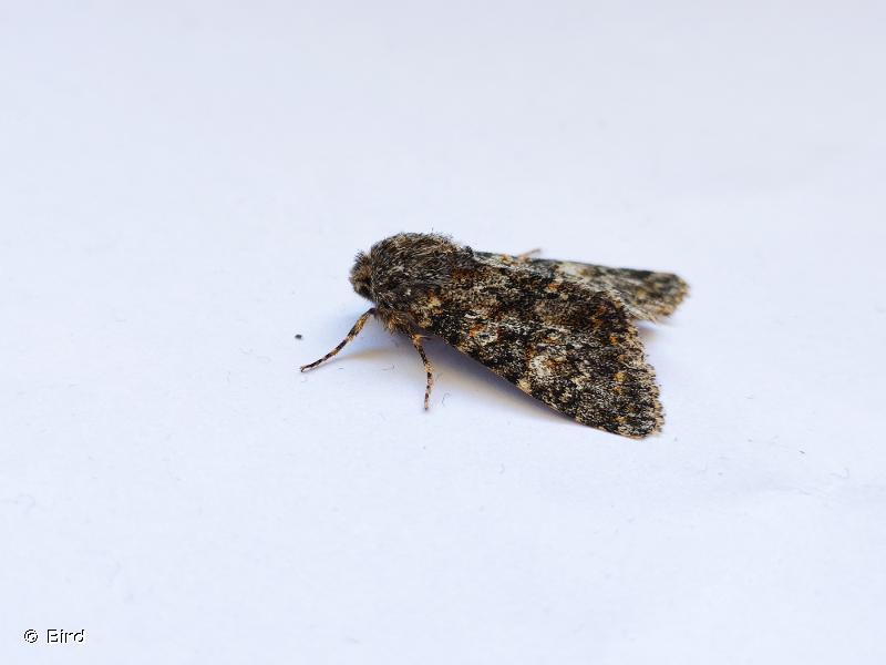 Polymixis flavicincta