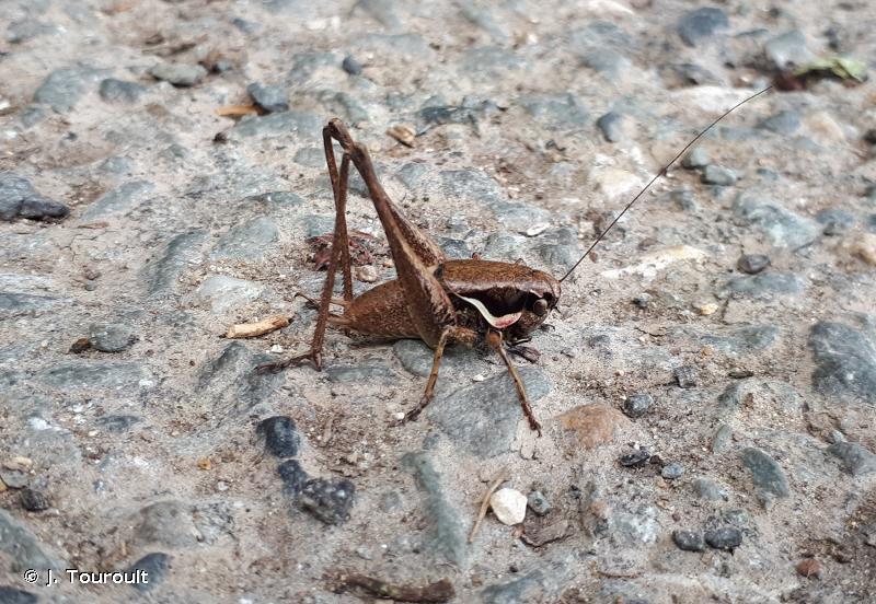 Pholidoptera femorata