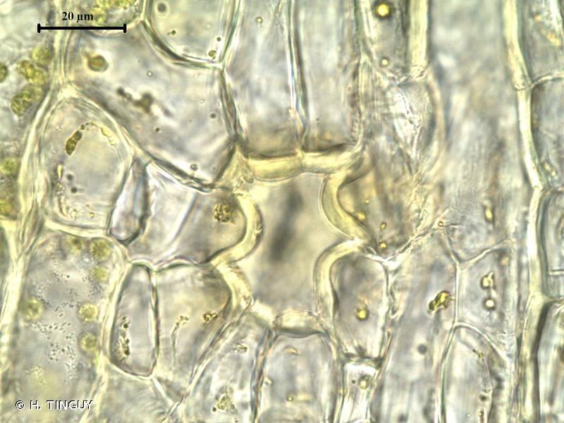 Orthotrichum alpestre