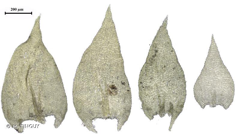 Heterocladium heteropterum