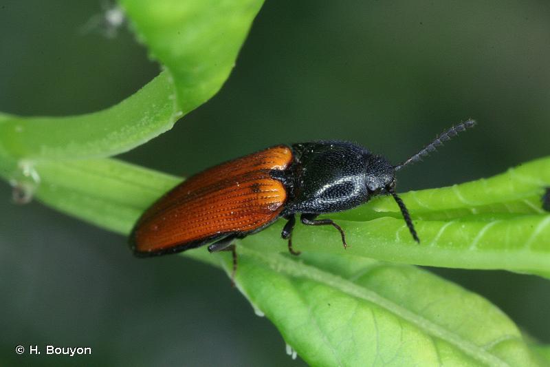 Ampedus elongatulus
